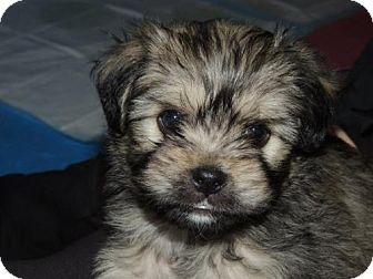 Pug Mixed With Shih Tzu Llll