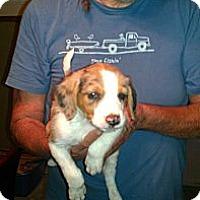 Adopt A Pet :: Alex - Conway, AR