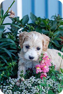 Maltese/Poodle (Miniature) Mix Puppy for adoption in Auburn, California - Hazel