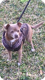 Chihuahua Mix Dog for adoption in Lake Jackson, Texas - Sonic