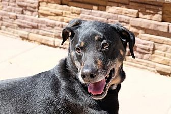 Shepherd (Unknown Type)/Rottweiler Mix Dog for adoption in Chandler, Arizona - DUKE 7