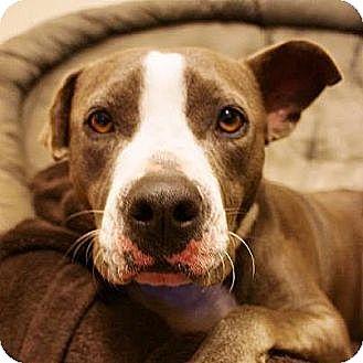 American Bulldog Mix Dog for adoption in Key Biscayne, Florida - Patty