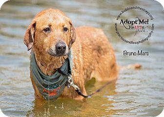 Labrador Retriever Mix Dog for adoption in Freeport, New York - Bruno Mars