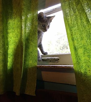 Domestic Shorthair Kitten for adoption in Middletown, Ohio - Gingham