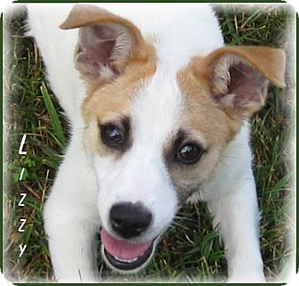 jack russell terrier mass marlborough ma jack russell terrier rat terrier mix 6383