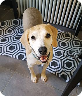 Labrador Retriever/Beagle Mix Dog for adoption in Richmond, Virginia - Copper