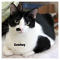 Domestic Shorthair Cat for adoption in Monrovia, California - Cowboy