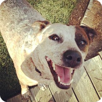 Australian Cattle Dog Mix Dog for adoption in Meridian, Idaho - Pepper
