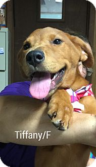 Golden Retriever/Shepherd (Unknown Type) Mix Puppy for adoption in Hagerstown, Maryland - Tiffany (has been adopted)