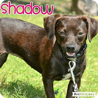 Dachshund/Chihuahua Mix Dog for adoption in Scottsdale, Arizona - Shadow