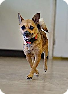 Chihuahua Mix Dog for adoption in Chicago, Illinois - Bella 6