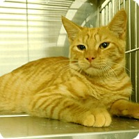 Domestic Shorthair Cat for adoption in Montgomery City, Missouri - Ferrous