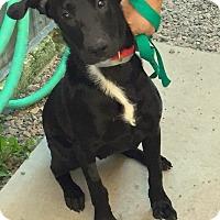 Labrador Retriever Mix Dog for adoption in Hibbing, Minnesota - ELI