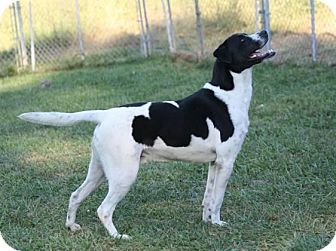 Pointer/Boxer Mix Dog for adoption in Fairfax Station, Virginia - Ollie Hound