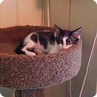 Domestic Shorthair Kitten for adoption in El Cajon, California - Bell