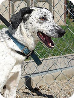 Dalmatian/Greyhound Mix Dog for adoption in Angola, Indiana - Lucky
