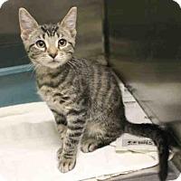 Domestic Mediumhair Kitten for adoption in San Francisco, California - BERTIE