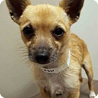 Chihuahua Mix Dog for adoption in Shorewood, Illinois - Cody