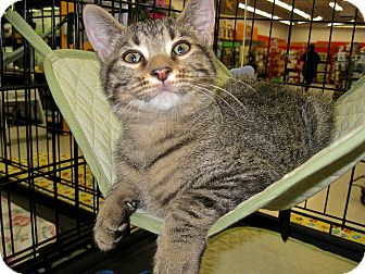 Domestic Shorthair Kitten for adoption in Fort Wayne, Indiana - grant