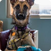 German Wirehaired Pointer Mix Dog for adoption in Phoenix, Arizona - Eva
