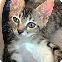 Adopt A Pet :: Dora - N. Billerica, MA