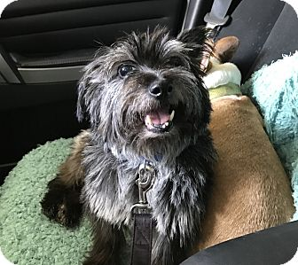 Cairn Terrier/Terrier (Unknown Type, Small) Mix Dog for adoption in San Francisco, California - Bertie