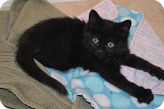 Domestic Mediumhair Kitten for adoption in Williamston, Michigan - Ar Litter - Zuma