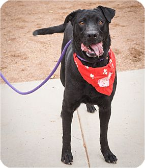 Labrador Retriever/Shar Pei Mix Dog for adoption in Phoenix, Arizona - Bonnelle