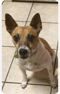 Australian Kelpie/Rat Terrier Mix Dog for adoption in San Antonio, Texas - Nolan