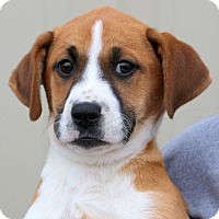 Adopt A Pet :: Harriet - Glastonbury, CT