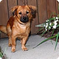Adopt A Pet :: Alexa - AMAZING GAL! - Los Angeles, CA