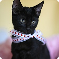 Adopt A Pet :: Lacey lap cat - Studio City, CA