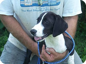Border Collie/Labrador Retriever Mix Puppy for adoption in Germantown, Maryland - Rocket