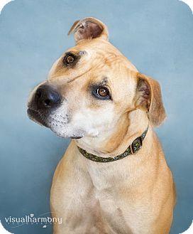 Labrador Retriever/Shepherd (Unknown Type) Mix Dog for adoption in Phoenix, Arizona - HANNAH