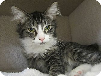 Maine Coon Kitten for adoption in Bunnell, Florida - Reed