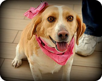 Beagle Mix Dog for adoption in Sparta, New Jersey - Maggie Mae