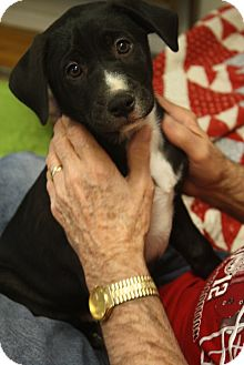 Labrador Retriever Mix Puppy for adoption in Homewood, Alabama - Jazz
