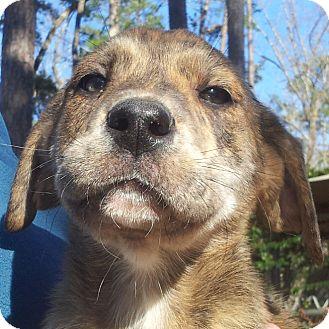 Great Dane American Bulldog Mix