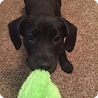 Adopt A Pet :: Lola - Sinking Spring, PA