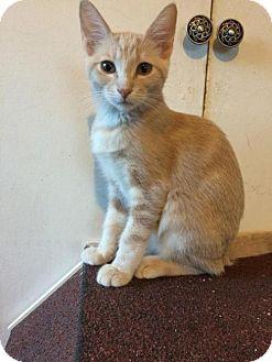 Domestic Shorthair Cat for adoption in Long Beach, California - Wordsworth