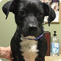 Adopt A Pet :: Abby Louise - Little Rock, AR