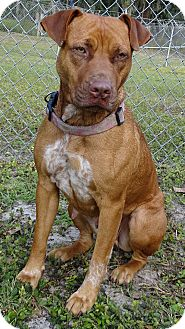 Pit Bull Terrier Mix Dog for adoption in Brooksville, Florida - DINAH