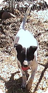 Pointer/Terrier (Unknown Type, Medium) Mix Dog for adoption in Trenton, New Jersey - Molly Mae