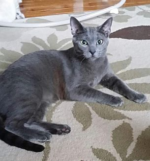 Siamese Kitten for adoption in Horsham, Pennsylvania - Charcoal