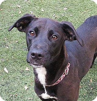 Labrador Retriever/Whippet Mix Dog for adoption in Summerville, South Carolina - Trudy
