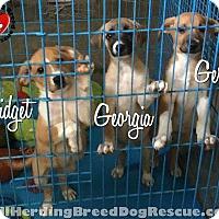 Adopt A Pet :: Gidget - Joliet, IL