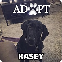 Labrador Retriever Mix Dog for adoption in Warrington, Pennsylvania - Kasey