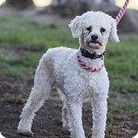 Adopt A Pet :: Darya - San Diego, CA