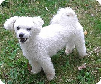 Bichon Frise Dog for adoption in Mississauga, Ontario - Theo-adoption pending