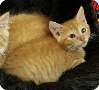 Domestic Shorthair Kitten for adoption in Jeannette, Pennsylvania - Zeus